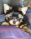 Puppy yorkshire terrier lies on the bed