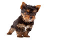 Puppy of yorkshire terrier s breed on a white background Stock Images