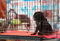 Puppy young white lovely lonely black pug dog with sadly eyes laying on a steel cage in a pet shop in thailand waiting for friend Stock Photos