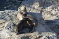 Pups with the mother drinks milk, Seal with baby on rocks with sunset Royalty Free Stock Photo