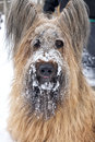 A pure bred blond briard dog with snow on it s face portrait of Royalty Free Stock Photos