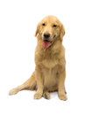 Pure breed golden retriever with a smile on face isolated in white background with clipping path Stock Photo