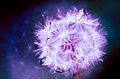 Pure and fresh Purple dandelion Royalty Free Stock Photo