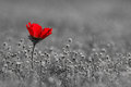 Pure love a red anemone flower on gray backgrounds Royalty Free Stock Photos