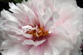 Pure petal the of peony Royalty Free Stock Images