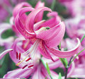 Pure pink lily flower from garden beautiful Stock Images