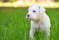 Pure snow white baby boxer puppy outdoors an adorable and very cute tiny pup outside for the first time on the fresh green grass Stock Photo