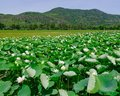 Pure white lotus flower Royalty Free Stock Photo