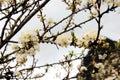 Pure white plum flower Royalty Free Stock Photo