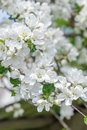 Pure white and rose colors apple tree flowers spring outdoor background Royalty Free Stock Photo