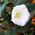 Pure white Stramonium flower in a park Royalty Free Stock Photo
