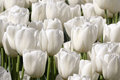 Pure white tulip garden many tulips are blooming on a sunny spring day Royalty Free Stock Image