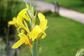 Pure Yellow Canna flower Royalty Free Stock Photo