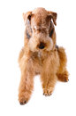 Pureblooded dog airedale looking down isolated white background Royalty Free Stock Image