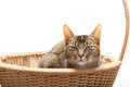 Purebred Abyssinian in reed basket Stock Photo