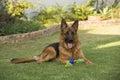 Purebred adult male German Shepherd Dog Royalty Free Stock Photo