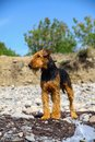Purebred airedale terrier outdoors Royalty Free Stock Photo