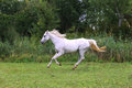 Purebred arabian mare canter on meadow summer time Royalty Free Stock Photo
