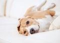 Purebred beagle dog lying on white sofa in luxury hotel room Stock Photo