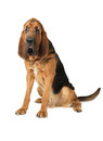 Purebred Bloodhound dog Royalty Free Stock Photo