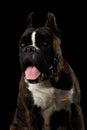Purebred Boxer Dog Isolated on Black Background Royalty Free Stock Photo