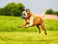 Purebred boxer dog photographed outdoors on a sunny day Stock Photo