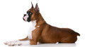 Purebred boxer laying down on white background Stock Photos