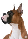 Purebred boxer portrait of on white background Royalty Free Stock Photo