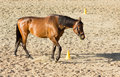 Purebred brown horse walking in sand tired near yellow pole Royalty Free Stock Photos
