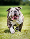 Purebred bulldog adult photographed outdoors on a sunny summer day Stock Image