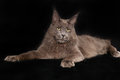 Purebred cat shot of domestic on black background Stock Photo