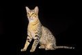 Purebred cat shot of domestic on black background Stock Images