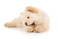 Purebred chow chow eats bone Royalty Free Stock Photo