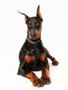 Purebred dobermann dog portrait of facing the camera Royalty Free Stock Image