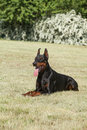 Purebred dog doberman in the park Royalty Free Stock Photography