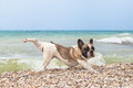 Purebred dog french bulldog by the sea Royalty Free Stock Image