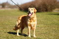 Purebred dog in a leash beautiful with outside during summer time Royalty Free Stock Photos