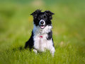 Purebred dog shot of taken outside on a sunny summer day Stock Photography