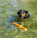 Purebred german pinscher fetching toy in a lake energetic young black and tan playing fetch swiming close up very short exposure Stock Photo