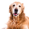 Purebred golden retriever dog close up on white background Royalty Free Stock Photography