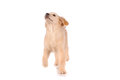 Purebred golden retriever dog isolated over white background Stock Photos