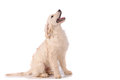 Purebred golden retriever dog isolated over white background Royalty Free Stock Photo