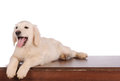Purebred golden retriever dog isolated over white background Stock Photo