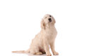 Purebred golden retriever dog isolated over white background Royalty Free Stock Photography