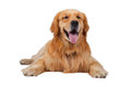 Purebred golden retriever dog sitting on isolated white backgrou a background Stock Images