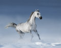 Purebred grey arabian stallion galloping over meadow in snow horse Stock Photography