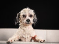 Purebred havanese dog studio shot of bichon havanais during grooming session at salon Royalty Free Stock Image