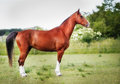 Purebred horse brown on grass during summer time Stock Photo