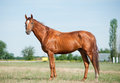 Purebred horse don in a field Royalty Free Stock Photos