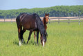 Purebred mare and foal on pasture green in summer Royalty Free Stock Photo